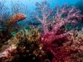 cod-coral